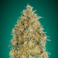 Auto Gorilla Blue - Feminized Seeds - Advanced Seeds