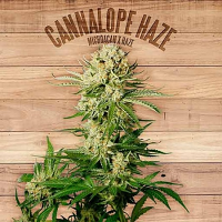 The Plant Organic Seeds Cannalope Haze Feminized