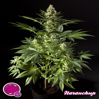 Philosopher Seeds Naranchup Feminized