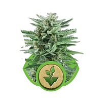 Royal Queen Seeds Easy Bud Auto Feminized