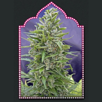 OO Seeds Automatik Mix Feminized