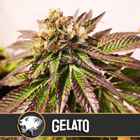 BlimBurn Seeds Gelato Feminized