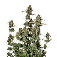 Seed Stockers Seeds BCN Power Plant Auto Feminized