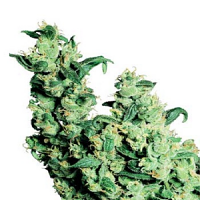 Sensi Seeds Jack Herer Regular