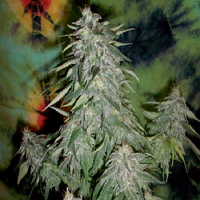 British Columbia Seeds Super Kush Feminized