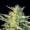 BlimBurn Seeds Wombat Feminized