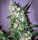 Mr Nice Seeds ASH Regular