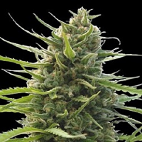 World of Seeds Kilimanjaro Feminized