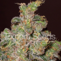 Expert Seeds Cheese (AKA Funky Skunk) Feminized