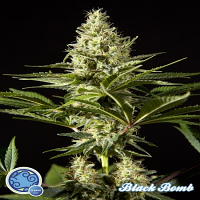 Philosopher Seeds Black Bomb Feminized