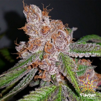 Flavour Chasers Seeds Purple Urkle Feminized