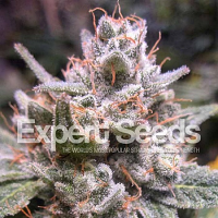 Expert Seeds Gorilla Glue #4 Auto Feminized (PICK N MIX)