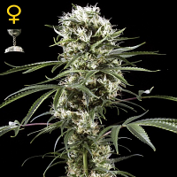 Green House Seeds Super Lemon Haze Feminized