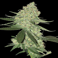 Big Head Seeds Big Cheese Auto Feminized