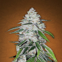 FastBuds Seeds West Coast OG Auto Feminised (PICK N MIX)
