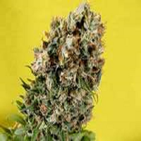 Soma Seeds Somativa Regular