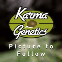 Karma Genetics Limited Collection Seeds Orange Bubba Feminized