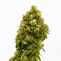 Swiss Dream CBD - Feminized - Kannabia