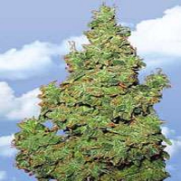Flying Dutchmen Seeds Voyager Feminized