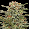 Dinafem Seeds Original Amnesia Feminized