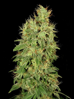 Serious Seeds CBD Chronic Feminized