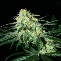 Karma Genetics Seeds Jack O Nesia Regular