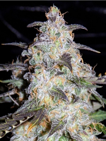 Mephisto Genetics Seeds Toof Decay Auto Feminized (PICK N MIX)