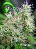 Kiwi Seeds Alegria Regular