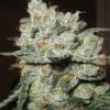 Sagarmatha Seeds Santa Cruz Kush Feminized