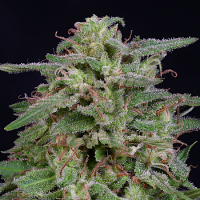 Big Head Seeds White Widow Feminized