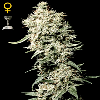 Green House Seeds White Rhino Feminised