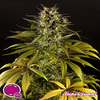 Philosopher Seeds SugarJuani Feminized