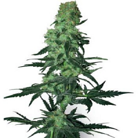 White Label Seed Company Amnesia White Regular