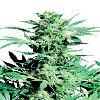Sensi Seeds Shiva Skunk Regular