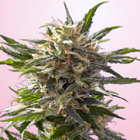 Spliff Seeds Crystal White Feminised (Gold)