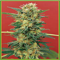 Mandala Seeds Ganesh Regular