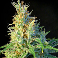 Sweet Seeds Psicodelicia Feminized