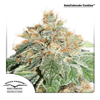 Dutch Passion Seeds AutoColorado Cookies Feminized