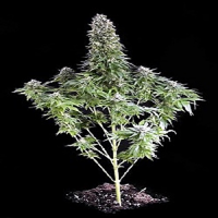Dinafem Seeds White Siberian Feminized