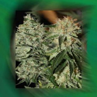 Connoisseur Genetics Seeds Strawberry Dogshit Regular