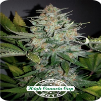 Dispensario Seeds Auto No More Pain Feminized