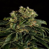Dinafem Seeds Santa Sativa Feminized
