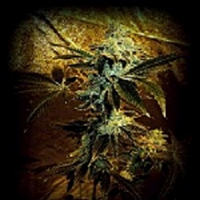 SinCity Seeds Rappers Delight Regular