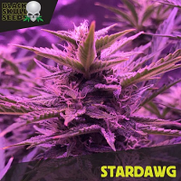 Black Skull Seeds Stardawg Feminized