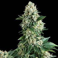 Pyramid Seeds Auto New York City Feminized (PICK N MIX)