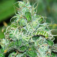 Delicious Seeds Fruity Chronic Juice Feminized