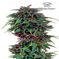 Dutch Passion Seeds Durban Poison Regular