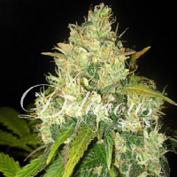 Delicious Seeds Black Russian Feminized