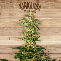 The Plant Organic Seeds Kinkanna Feminized