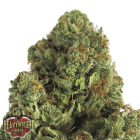 Heavyweight Seeds Midnight Mass Feminized